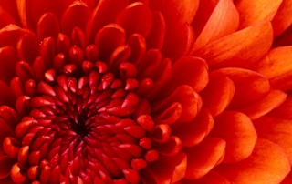 chrysanthemum_wide