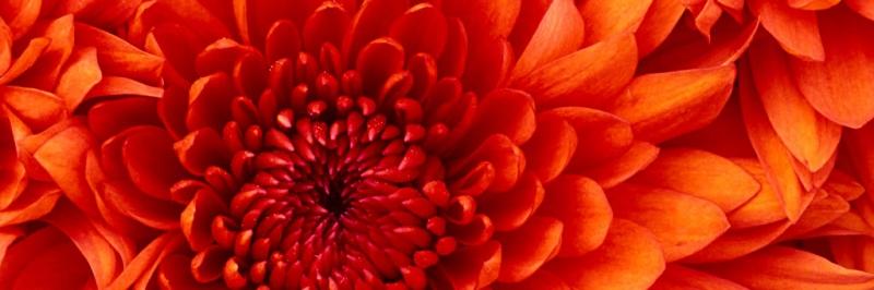chrysanthemum_wide